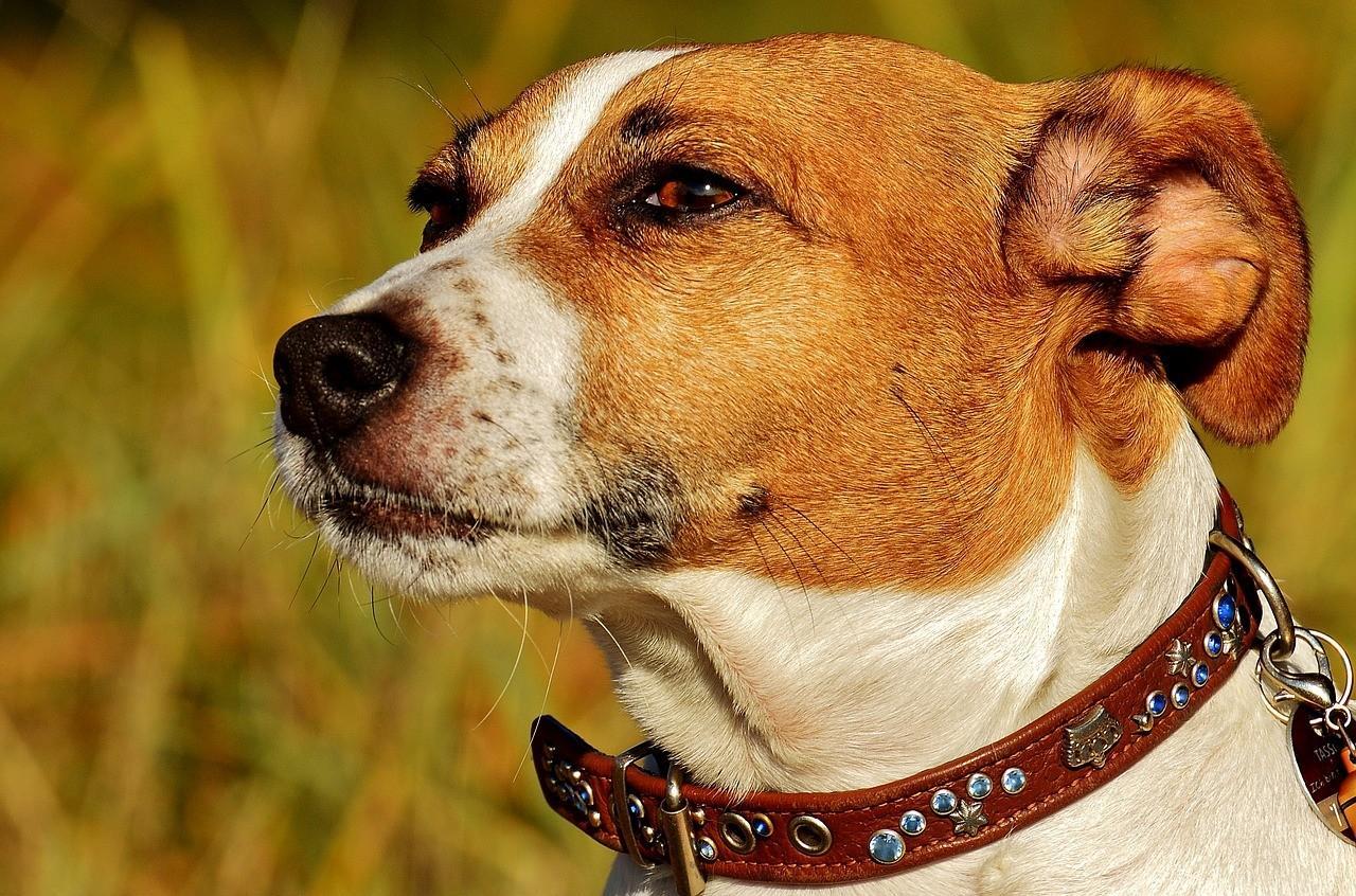 Порода собак Джек Рассел Терьер