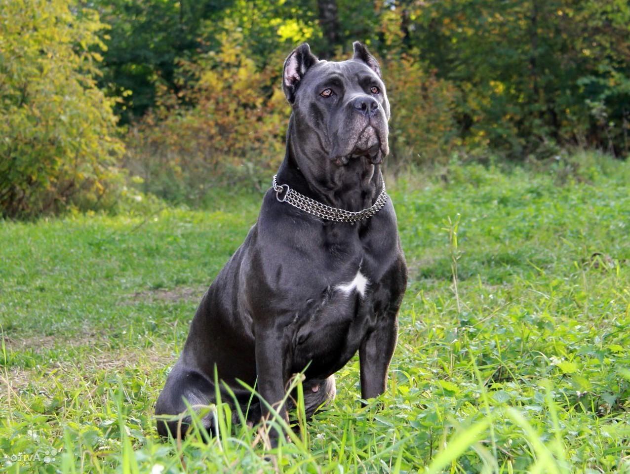 Порода собак Кане корсо