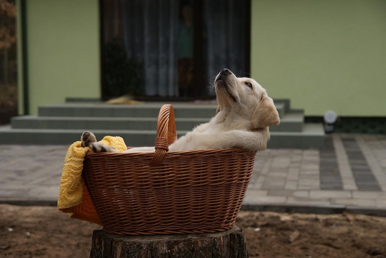 Порода собак Лабрадор