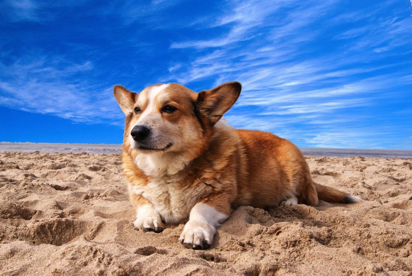 Порода собак Корги