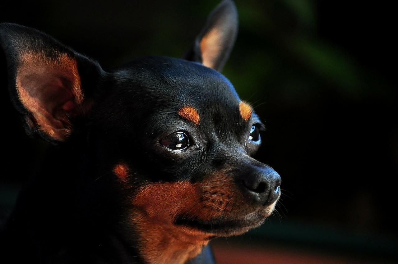 Порода собак Пинчер