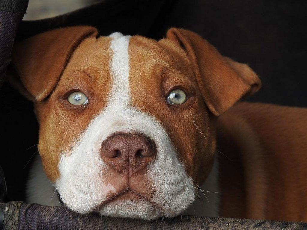Порода собак Питбуль