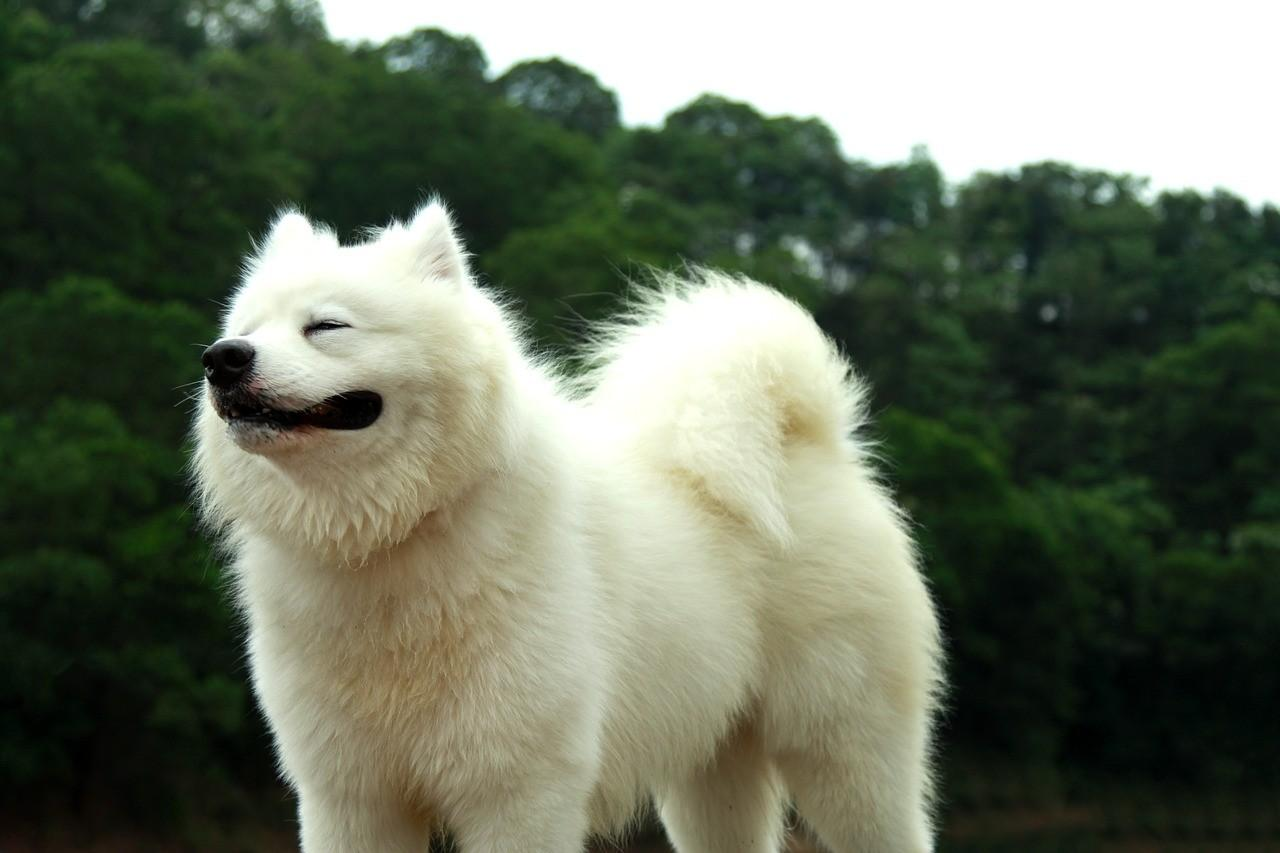 Порода собак Самоед