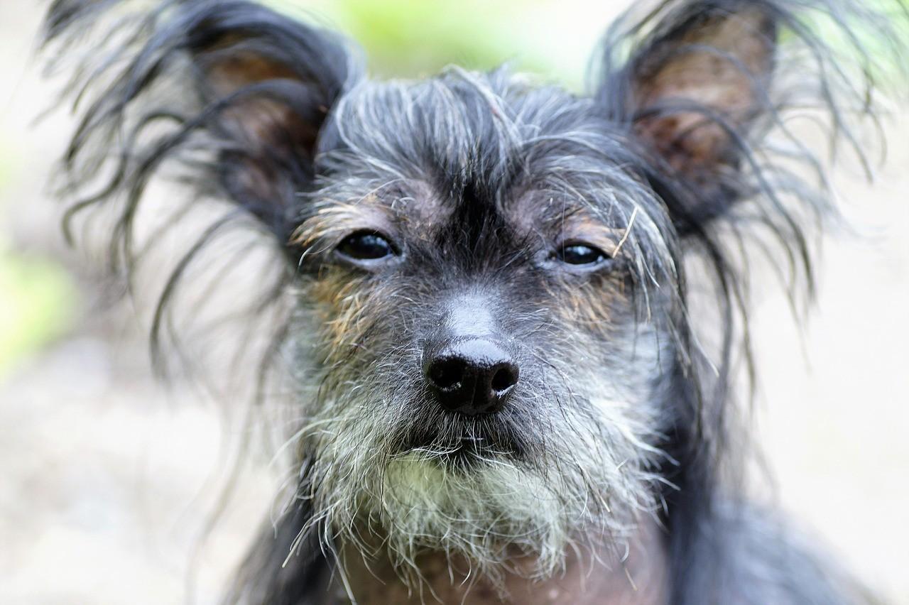 Китайская хохлатая собака: описание, фото, уход, характер, цена