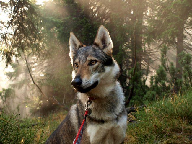Волкособ: описание, фото, уход, характер, цена