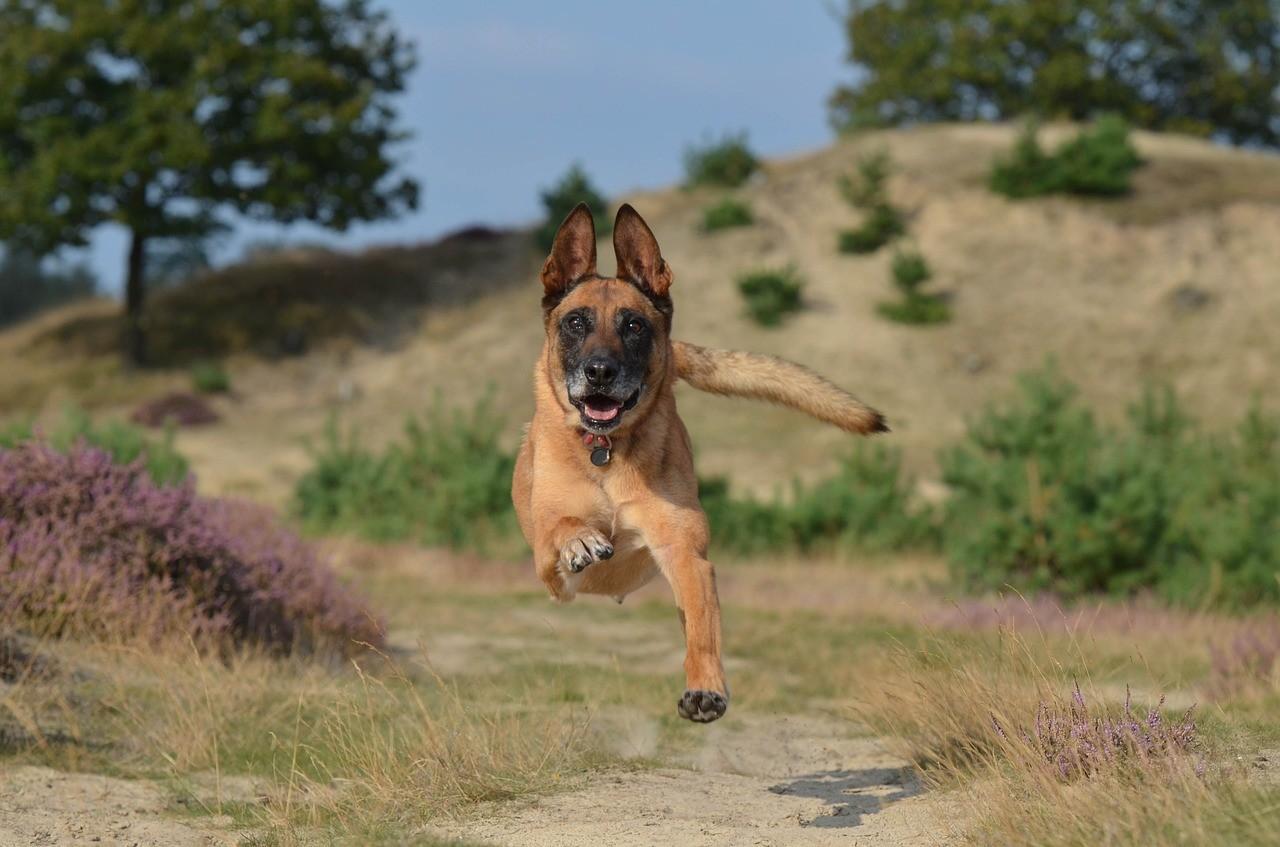 Бельгийская овчарка: описание, фото, уход, характер, цена