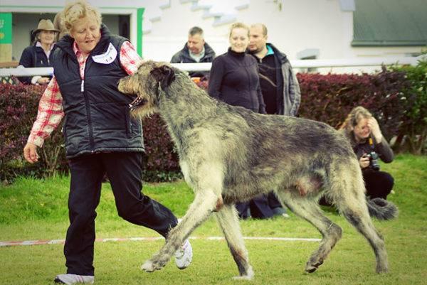 Ирландский волкодав: описание, фото, уход, характер, цена
