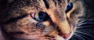 У кошки слезится один глаз и щурится